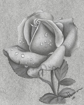 Charcoal Rose by Lee Herman