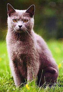 Chartreux Cat by Diane Kurtz
