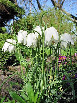 Ausra Huntington nee Paulauskaite - Checkered Lily White. Fritillaria Meleagris White.