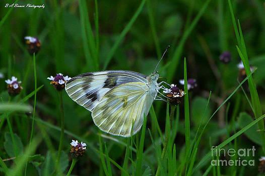 Barbara Bowen - Checkered White Butterfly