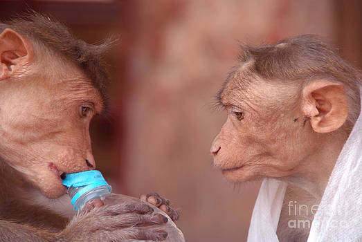 Cheeky Monkeys Opening Stolen Water Hampi by Serena Bowles
