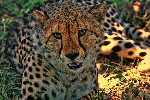 Cheetah by Andrei Fried