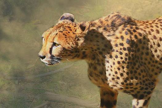 Cheetah by Anthony Wilder