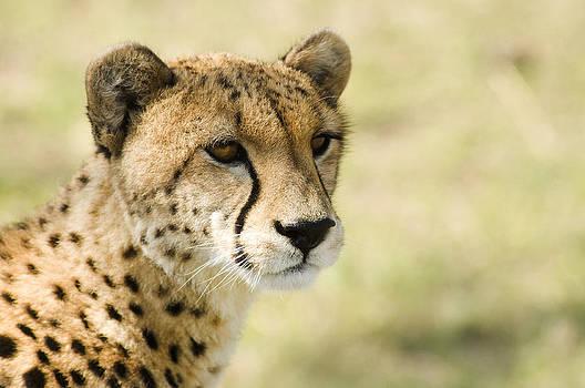 Cheetah by Bob Falconer