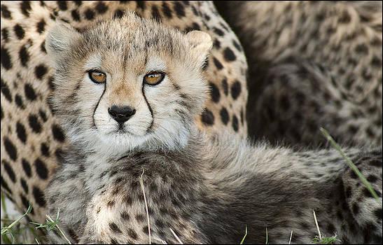 Cheetah Cub by Bob Falconer