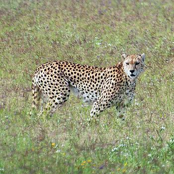 Harvey Barrison - Cheetah of Ngorongoro