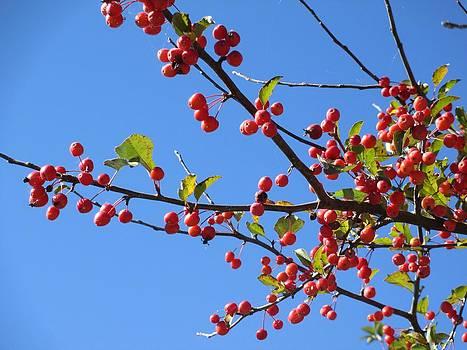 Andrew Hench - Cherries in Blue