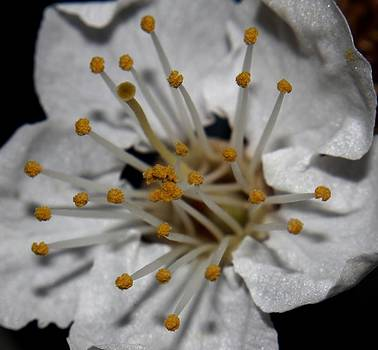 Cherry Blossom - 1 by Robert Morin
