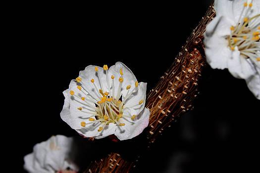 Cherry Blossom - 2 by Robert Morin
