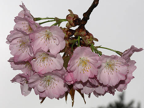 Cherry blossom by Kathy Dunce