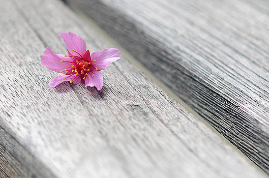 Lisa Phillips - Cherry Blossom on Bench