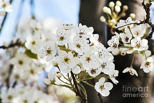 Cherry Blossom by Pamela Gail Torres