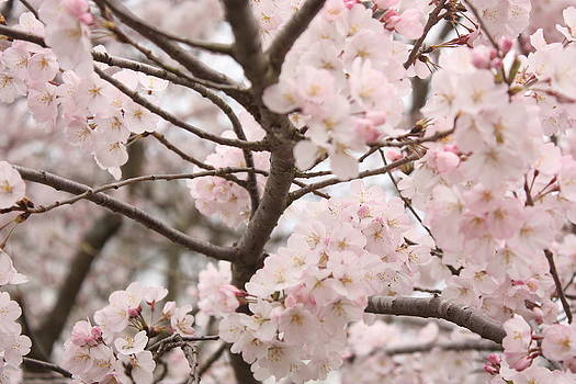 Cherry Blossom by Tanya Moody