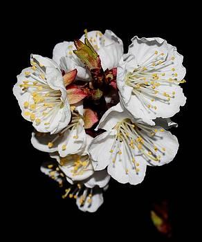 Cherry Blossoms - 4 by Robert Morin