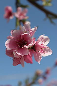 Cherry Blossoms 2 by Ashley Balkan