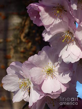 Christine Stack - Cherry Blossoms I