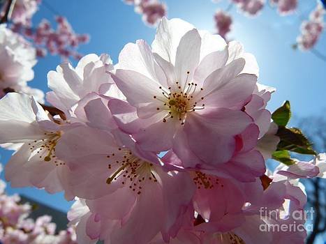 Christine Stack - Cherry Blossoms IV