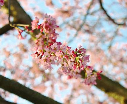 Cherry Tree by Cathie Tyler