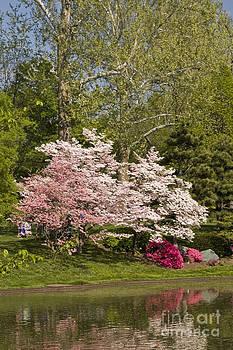 Tim Mulina - Cherry Trees in Bloom