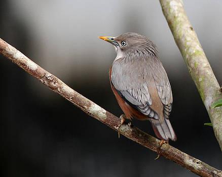 Chestnut-tailed Starling by Sandeep Gangadharan