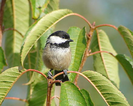 Chickadee by Daryl Hanauer