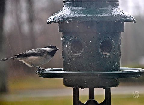 Chickadee in the rain by Healing Woman