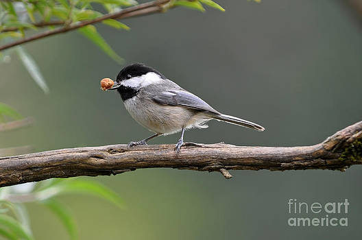 Chickadee with Large Seed by Laura Mountainspring