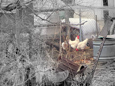 Chickens in Coup by Amy Bradley