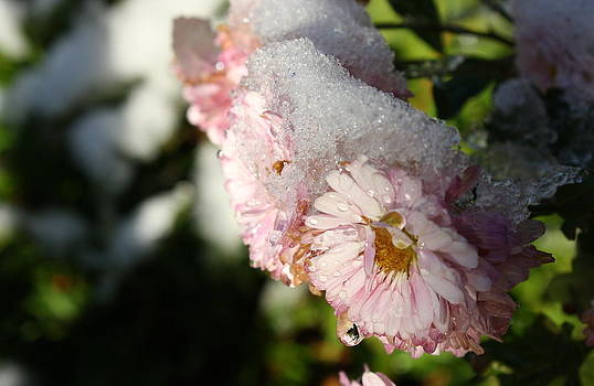 Annie Babineau - chilly chrysanthemums