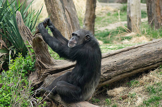 Chimps pose by Wendy Emel