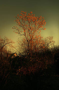 Nina Fosdick - Chinaberry at Sunset