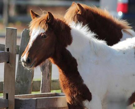 Chincoteague Wild Pony by Glenn Lawrence