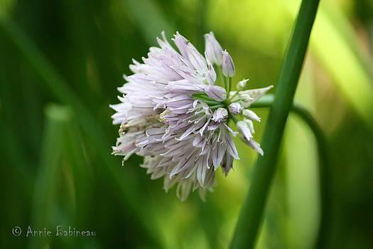 Annie Babineau - chive flower