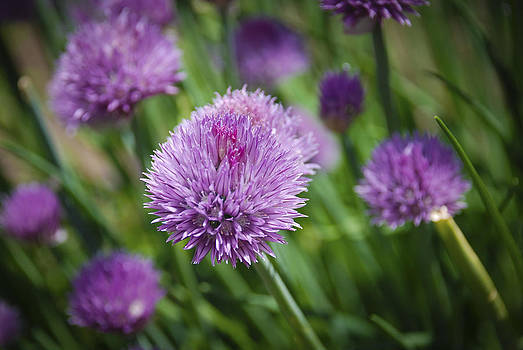 Chives by Kelly Rader