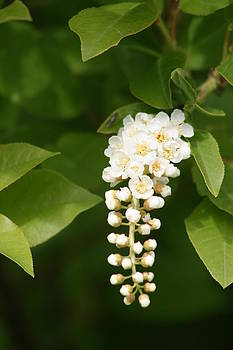 Chokecherry Flower by J W Kelly