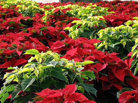 FeVa  Fotos - Christmas Color