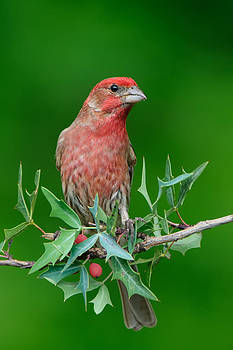 Christmas Finch by Jeff Wendorff