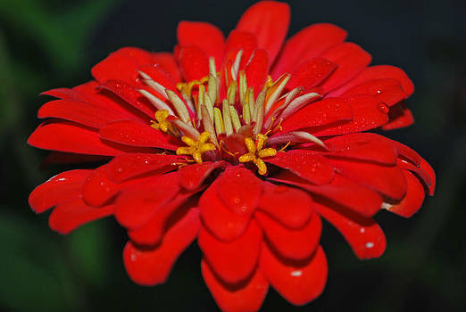Michelle Cruz - Christmas Red Zinnia