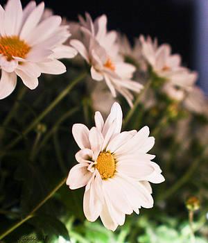 Chrysanthemum by Amr Miqdadi