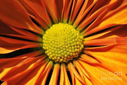 Yhun Suarez - Chrysanthemum