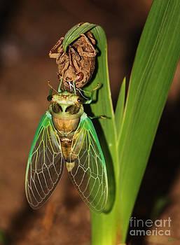 Cicada by Jeff Breiman