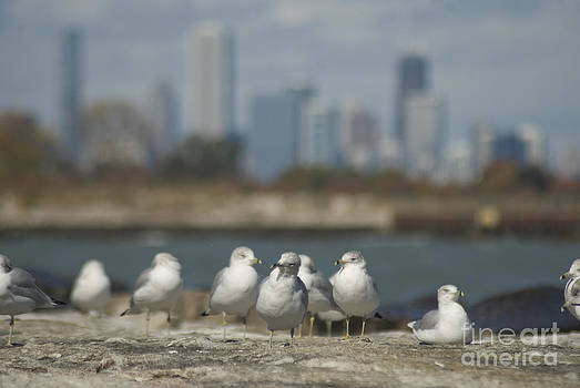 City gulls by Jim Wright