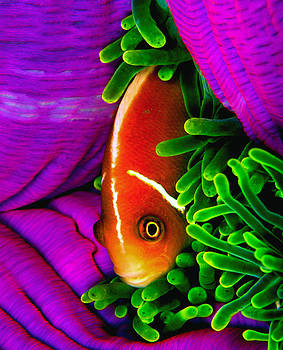 Clarke's Anemone fish on anemone. by Fern Wood  Mitchell