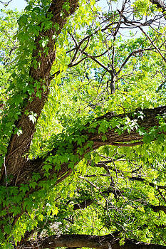 Climbing Ivy by Elizabeth Hart