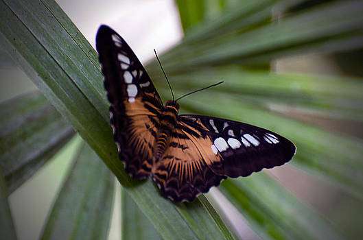 Clipper Butterfly by Cheryl Cencich