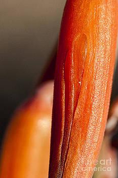 Darcy Michaelchuk - Close-up on Aloe Vera Bud