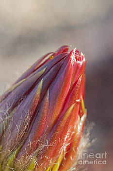 Darcy Michaelchuk - Close Up on Cactus Flower Bud