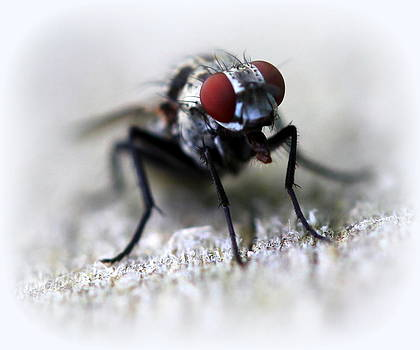 Closeup of a Fly  by Maureen  McDonald