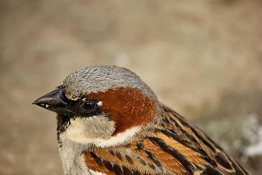 Closeup Sparrow by Mathew Tonkin Henwood