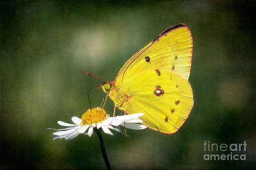 Clouded Sulphur Butterfly by Susan Isakson